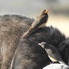 "Few birds have other animals as their ""habitat,"" but Yellow-billed Oxpeckers do. Photo by participant Jean Rigden."