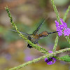Green-fronted Lancebill working some verbena. Photo by participants David & Judy Smith.