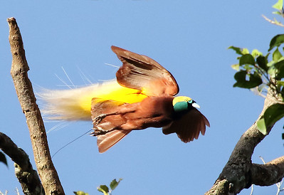 Here's a male Greater Bird-of-Paradise in fantastic detail, photographed by participant Myles McNally.