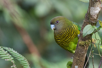 A fine portrait of a beautifully barred Brehm's Tiger-Parrot by guide Doug Gochfeld.