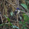 Marvelous Spatuletail is the other great prize -- simply an amazing bird to see. Photo by guide Jesse Fagan.