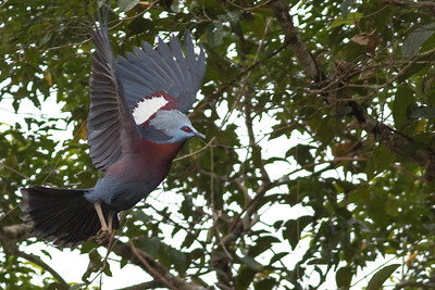 An impressive Southern Crowned-Pigeon (nearly 30 inches!) takes flight near Kiunga, showing its plumage to full effect. Photo by guide Doug Gochfeld.