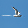 Red-billed Tropicbird in all its glory. Photo by participant David Stickney.