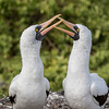 Shifting from Peru, we head to the Galapagos with guide Willy Perez for our last stop. Here, two Nazca Boobies do a little billing. Photo by participant David Stickney.