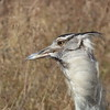 The visage of a Kori Bustard. Photo by participant Mary Krentz.