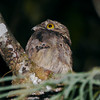 Common Potoo along the Sucusari River -- amazing, huge eyes on these birds. Photo by participants David & Judy Smith.