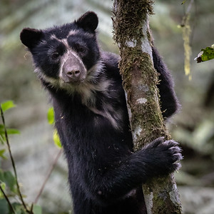 Let's head to mainland Ecuador for the next set of photos. One of the unforgettable moments of our Cloudforests of Ecuador tour was an intimate experience with the elusive Spectacled Bear. Photo by participant Justin Khalifa.