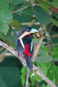 A colorful Black-and-red Broadbill gathers nesting material. Photo by participant Merrill Lester.