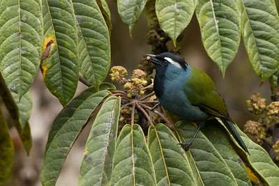 Even with blue in the plumage and a white eyebrow, the subtle but lovely Crested Berrypecker can blend right into the foliage. Photo by guide Doug Gochfeld.
