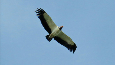 An adult King Vulture overhead is about as distinctive as it gets for soaring birds in the Neotropics. Photo by participant Bruce Cressman.