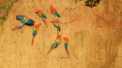 """The subtitle for this itinerary is """"Macaw Lick Extraordinaire,"""" and this departure certainly lived up to the billing. The gorgeous lighting made these spectacular Scarlet Macaws unforgettable. Photo by guide Jesse Fagan."""