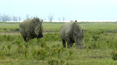 "White Rhinos got their name from a misinterpretation of the Dutch word ""wijd,"" which means wide -- a reference to their broad mouth.   Photo by guide Terry Stevenson."
