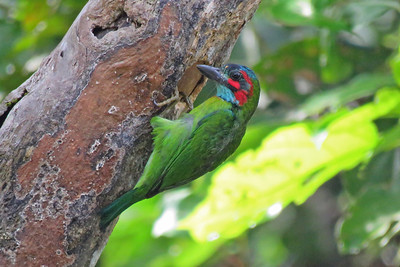 From East Africa now to Borneo, where our summer group caught up to this Blue-eared Barbet at its nest cavity. Photo by participant Merrill Lester.