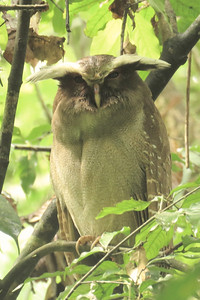 The tufts on a Crested Owl may serve to help the bird be as inconspicuous as possible. Photo by participant Bruce Cressman.