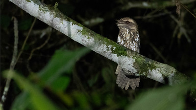 One of our nocturnal forays produced a great look at Marbled Frogmouth. Photo by participant Sid England.