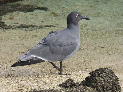 Lava Gull has the smallest range, and consequentially the smallest population, of any gull species. Photo by participant John Keith.