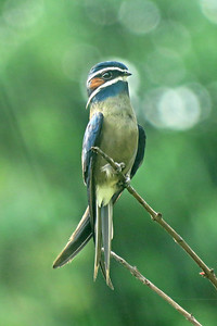 Whiskered Treeswift: elegant, awkward, and a thrill to see — all in one. Photo by participant Merrill Lester.