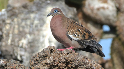 Most people think of the finches, but there are many other endemic species on the islands, like this beautiful Galapagos Dove. Photo by participant Judith Harackiewicz.