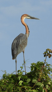 Standing five feet tall with a seven foot wingspan, the Goliath Heron truly is a giant wading bird. Photo by guide Terry Stevenson.