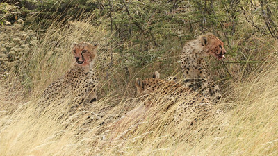 The global population of Cheetahs has shrunk by more than 90 percent, so we felt fortunate to come upon this family. Photo by guide Terry Stevenson.