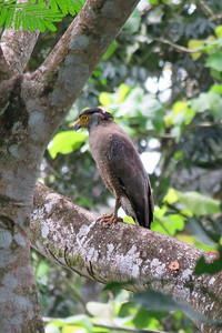 Given that there are 21 recognized subspecies of Crested Serpent-Eagle, it seems ripe for a few splits across its large tropical Asia range! Photo by participant Merrill Lester.