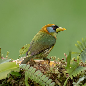 Participant Justin Khalifa turned in this marvelous study of green and gold, also known as a female Red-headed Barbet.