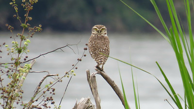 Burrowing Owls are widespread and easy to detect, but to capture a photo of one with a watery background is decidedly uncommon for this species. Photo by participant Bruce Cressman.
