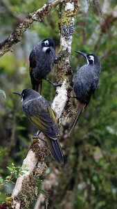 A trio of bold Belford's Melidectes, one of numerous specialty honeyeaters found in New Guinea. Photo by participant Randy Beaton.
