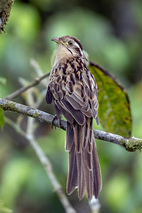 Often easier to hear than see, this Striped Cuckoo proved quite cooperative for us. Photo by participant Justin Khalifa.