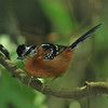 ferruginous antbird - 5