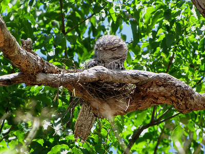At the other end of the width spectrum, check out the bill on this Tawny Frogmouth on its nest. (Photo by participant Robert McNab)
