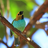 gilt edged tanager - 46