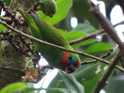 This Double-eyed Fig-Parrot is making quick work of the fruit. (Photo by participant Robert McNab)