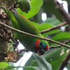 This Double-eyed Fig-Parrot is making quick work of this fruit. (Photo by participant Robert McNab)