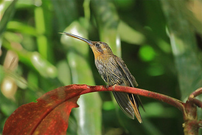 saw billed hermit - 17