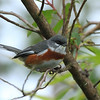 bay chested warbling finch - 08
