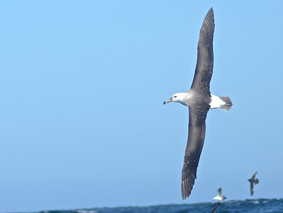 Salvin's Albatross was one of the many highlights on our pelagic trip. (Photo by guide Peter Burke)