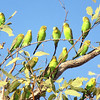 Budgerigar populations fluctuate wildly from year to year. (Photo by participant Paul Davies)
