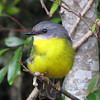 Eastern Yellow Robin is a widespread and common species in Australia but always a treat to see. (Photo by participant Robert McNab)