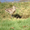 Far Eastern Curlew has to have one of the most outrageous bills in the bird world. (Photo by participant Paul Davies)