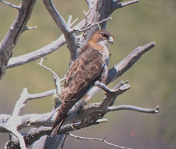 One of the Chile tour highlights was this White-throated Hawk. Seeing one in flight is usually the most we can hope for, so this prolonged perched view was a special treat. (Photo by guide Peter Burke)