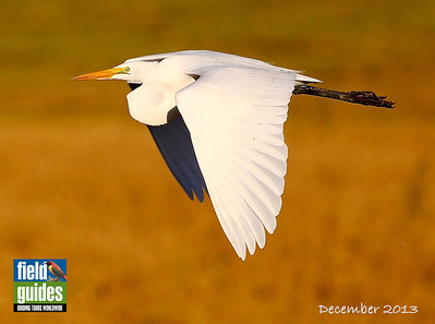 We begin this month's recent photos with a classic Great Egret from participant Rick Woodruff on one of our recent Louisiana: Yellow Rails & Crawfish Tails tours. There are more great pics from that tour at the end of this gallery. Browse through the various others from Brazil, Chile, Australia, and New Guinea to get there. Enjoy!