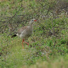 red legged seriema - 05