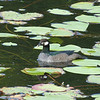 Green Pygmy-Goose is an elegant little waterfowl. (Photo by participant Merrill Lester)