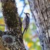 Red-cockaded Woodpecker (Picoides borealis)