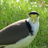 The unusual visage of a Masked Lapwing, captured by participant Jan Shaw