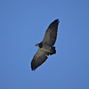 With broad wings and short tail, the Black-chested Buzzard-Eagle's silhouette is nearly unmistakeable. The species ranges tip to tip in the Andes. (Photo by guide Peter Burke)