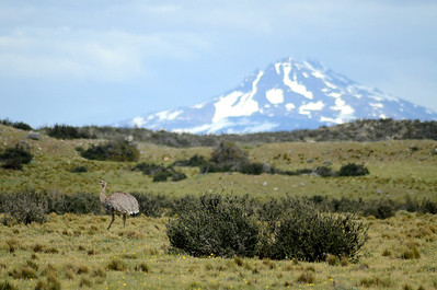 A Lesser Rhea punctuates the landscape in Torres del Paine National Park. (Photo by guide Peter Burke)