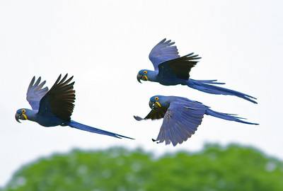 Hyacinth Macaws, the world's largest parrot species, were flying all around us at our first location: Pousada Caiman in the southern Pantanal. (Photo by guide Marcelo Padua)