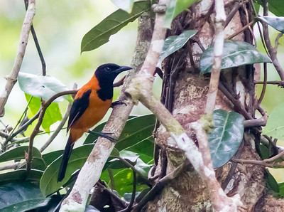 Are your hands feeling numb or tingling? Perhaps you touched a Hooded Pitohui. Thanks to a diet which includes choresine beetles, their feathers and skin are toxic. (Photo by participant Tony Brake)